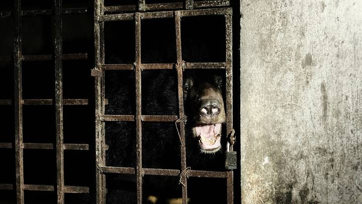 Bears Rescued After Being Kept In The Dark For 17 Years In Vietnamese 'Bile Farm'