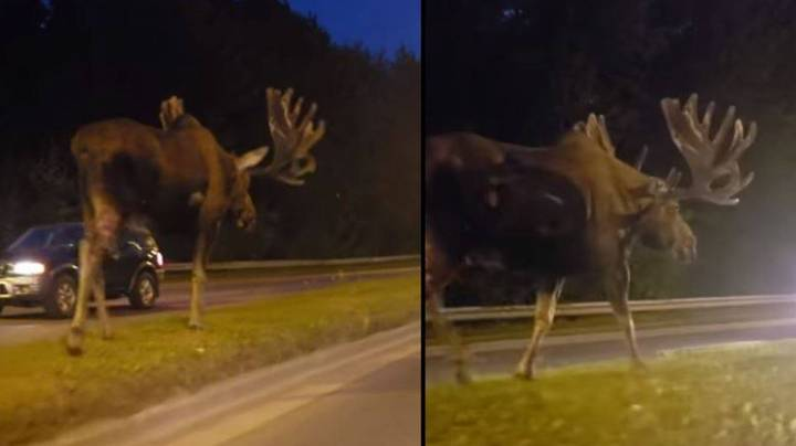 Giant Moose Caught Casually Strolling Along Middle Of Highway