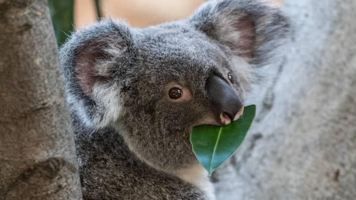 Wildlife Expert Believes Koalas Are 'Functionally Extinct' After Australian Bushfires