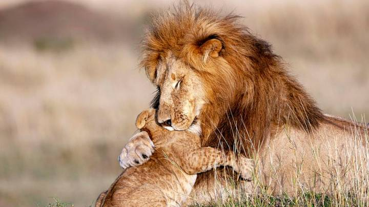 Lion Hugs Its Cub In Adorable Real Life Lion King Mufasa And Simba Moment