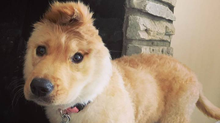 'Golden Unicorn' Puppy Has One Ear In The Middle Of Her Head