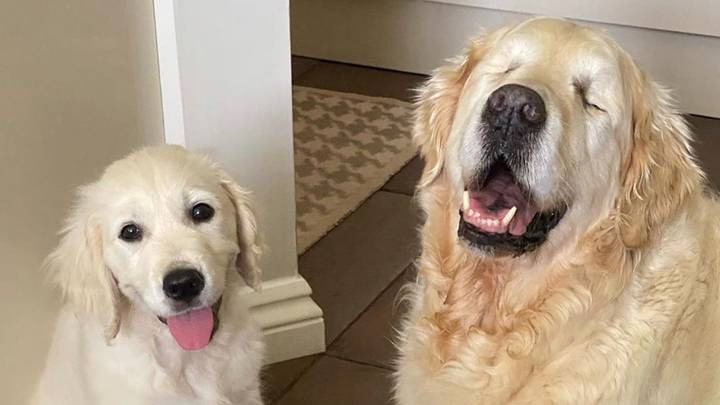 Blind Golden Retriever Gets A Puppy To Help Him Navigate The World