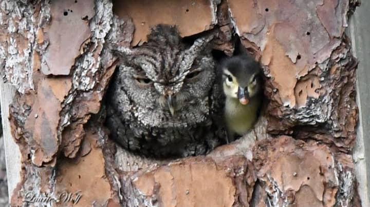 Photographer Captures Owl Looking After Duckling