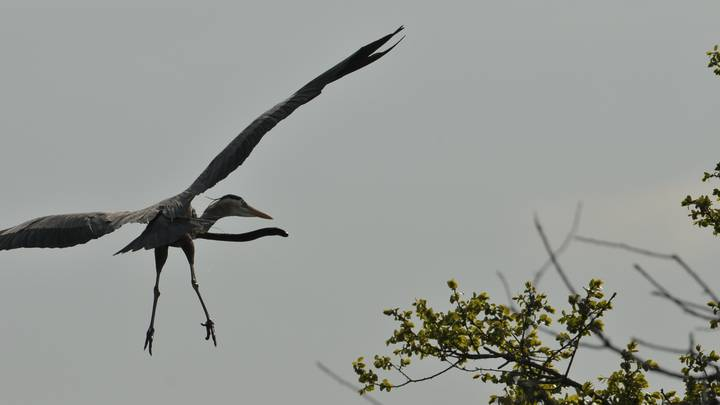 Photographer Shares Picture Of Eel Burrowing Out Of Flying Heron's Stomach