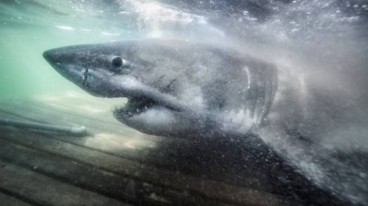 Great White Shark Is Now Closer To UK Than US After Becoming Second To Cross Atlantic