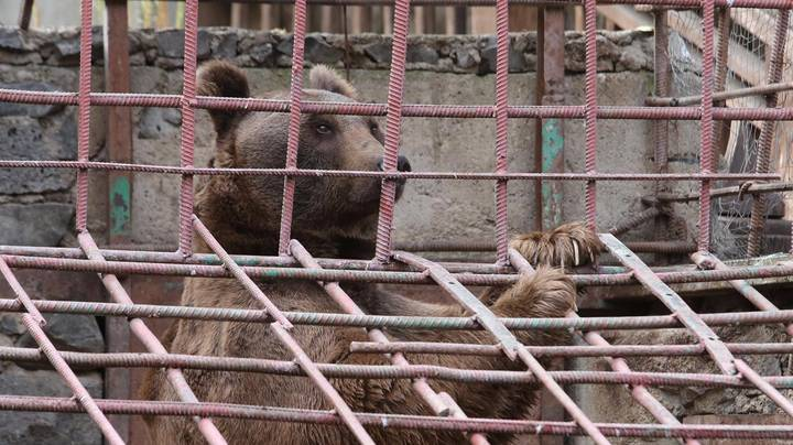 Bears Kept In Cages Next To Armenian Restaurant Have Been Freed After Online Appeal