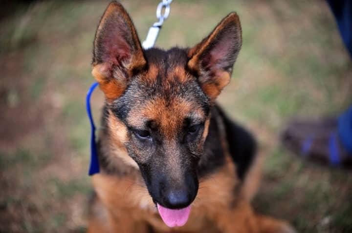 Brave German Shepherd Saves SAS Troops During ISIS Ambush