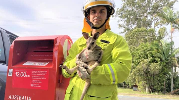 Shock After Kangaroo Joey Found Stuffed Inside Australian Post Box