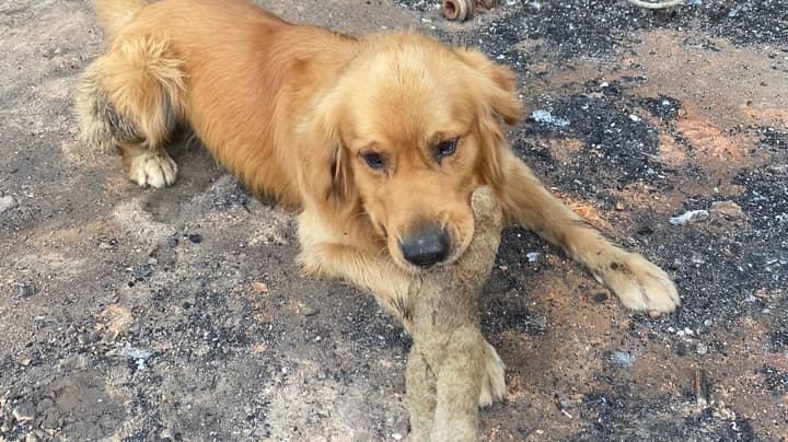 Dog Finds Beloved Toy After Returning To Bushfire Destroyed Home