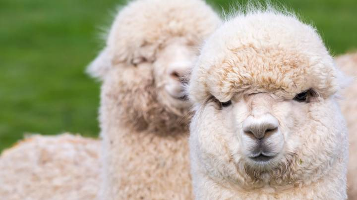 Alpaca 'Bodyguards' Brought In To Protect Christmas Turkeys From Foxes