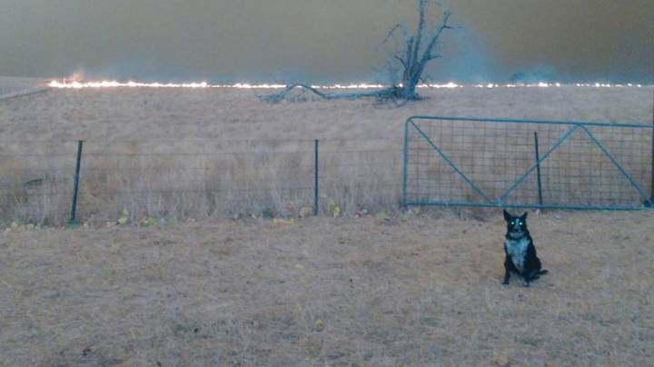 Patsy The Dog Saves 900 Sheep From Being Killed In Massive Bushfire