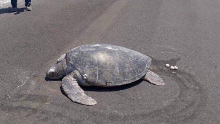 Endangered Turtle Who Came To Lay Eggs On Beach Discovers It's Been Turned Into A Runway