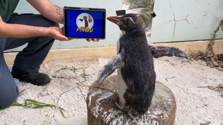 Penguin Lifts His Spirits By Binge-Watching Episodes Of Pingu