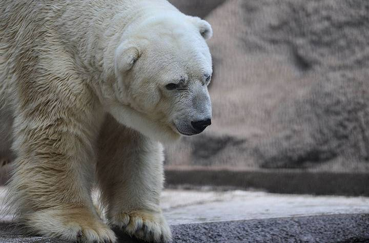 'World's Saddest Polar Bear' Dies In Argentinian Zoo At The Age Of 30
