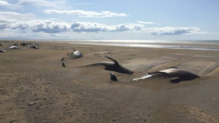 Dozens Of Pilot Whales Mysteriously Found Dead On Beach In Iceland