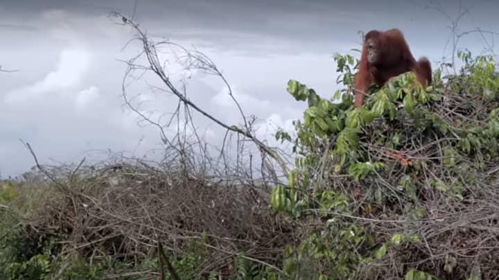 Netflix Viewers In Tears After Heartbreaking Orangutan Scene In New David Attenborough Documentary