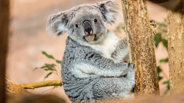 People Are Freaking Out After Hearing What Koalas Actually Sound Like