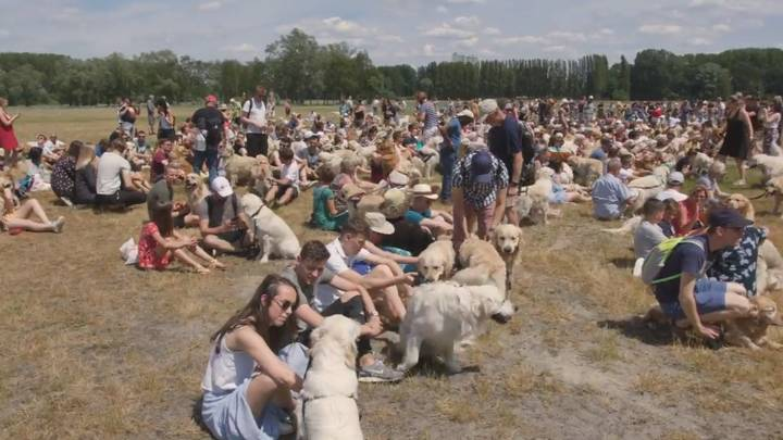 ​498 Golden Retrievers Gather In Antwerp To Set World Record