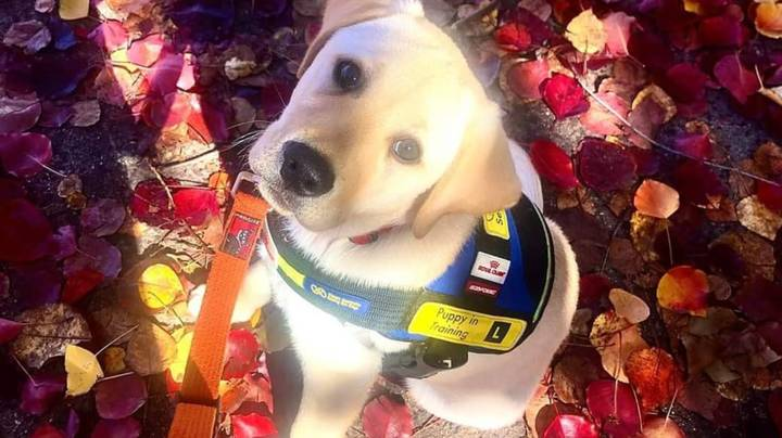 Seeing Eye Dogs Australia Needs People To Look After Their Puppies For A Year