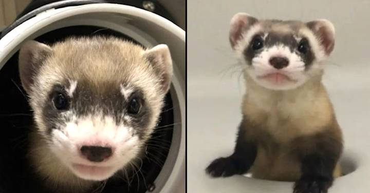 Scientists Clone Endangered Ferret That Died More Than 30 Years Ago