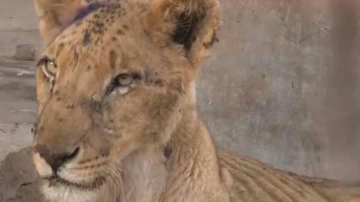 Harrowing Footage Shows Emaciated Lion At Sudan Zoo