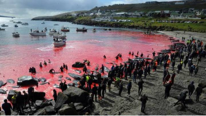 Annual Whale Hunt Turns Sea Red With Blood In Faroe Islands