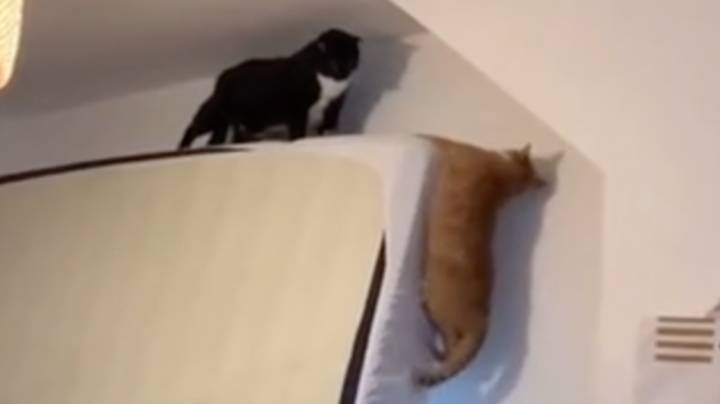 Cats Hilariously Recreate Scene From The Lion King