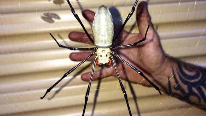 People Are Horrified After Seeing Massive Golden Orb Spider In Australia