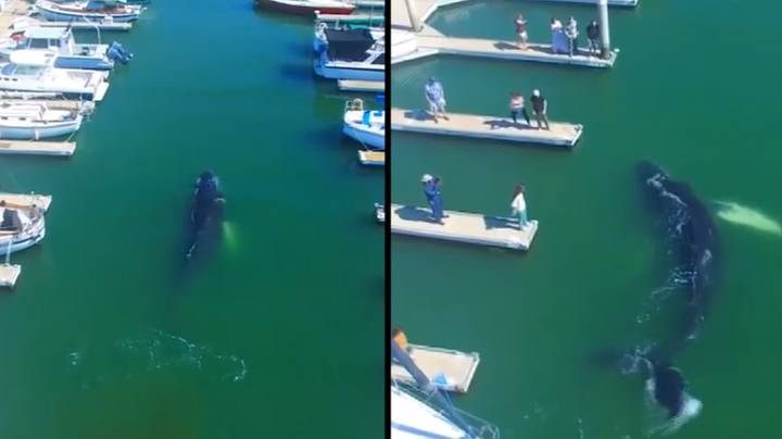 Giant Humpback Whale Loses Its Way And Ends Up In Harbour