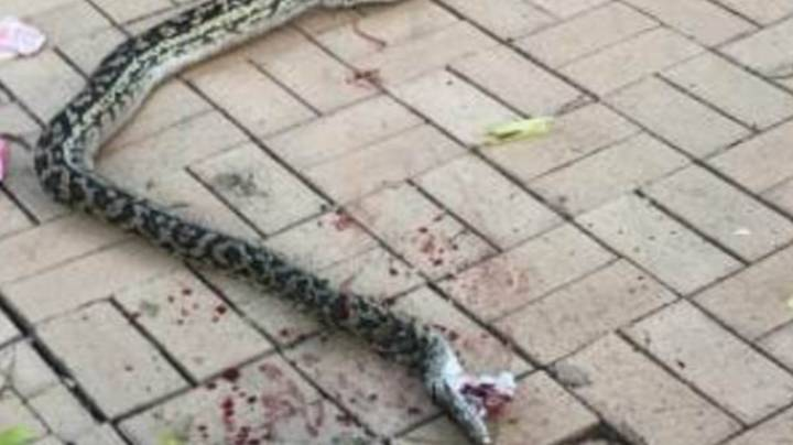 Heroic Dad Rescues Son, 4, From Giant Python