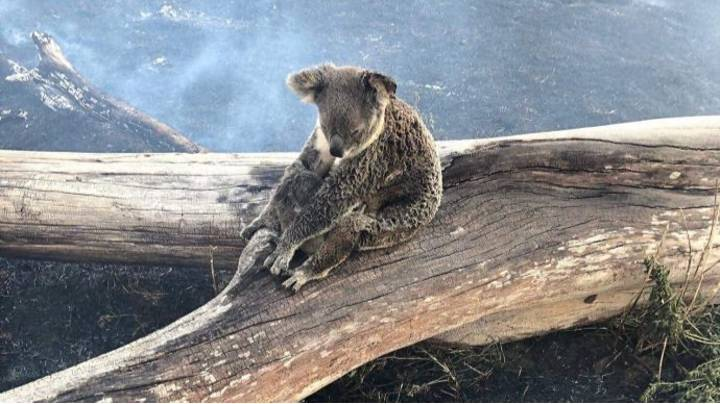Koala And Joey Rescued From Queensland Bushfires Set To Be Released