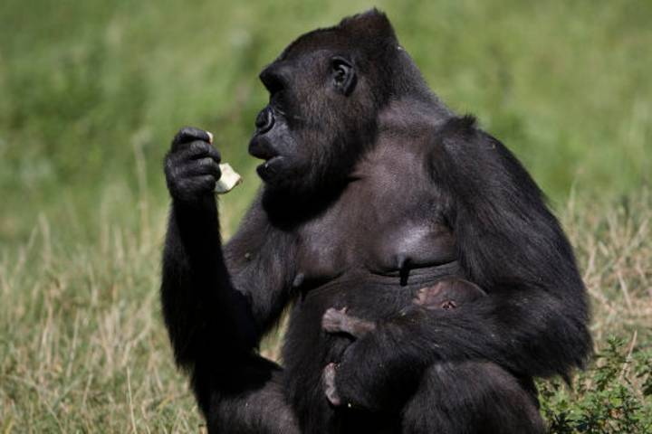 A Gorilla Has Escaped From London Zoo