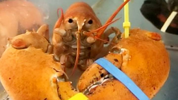 Extremely Rare Lobsters Saved From Cooking Pot By Eagle-Eyed Customer