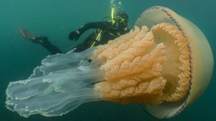 Giant Jellyfish As Big As Diver Spotted Off UK Coast