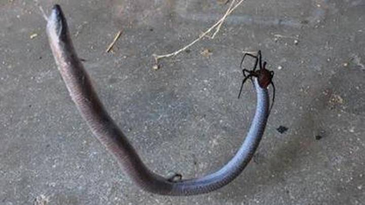 This Video Of A Snake Fighting A Spider Is Brutal, And I Mean BRUTAL