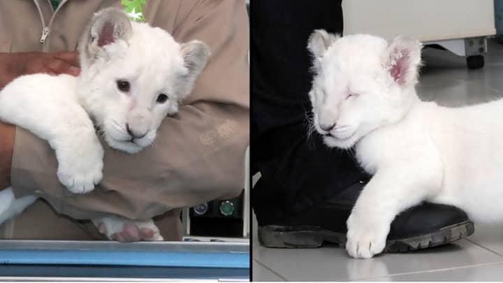 Rare White Lion Cub Born In Mexican Zoo