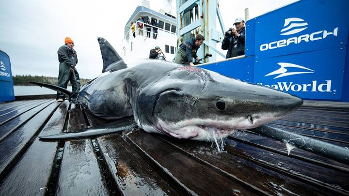 Huge 13-Foot Great White Shark Found With Bite Marks From Even Bigger Predator