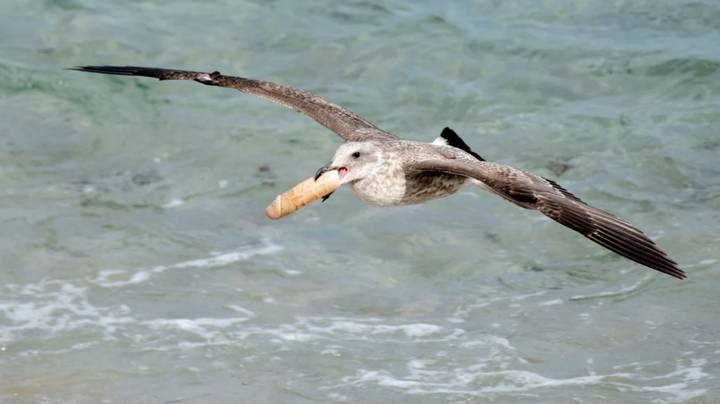 Wildlife Photographer Shocked To Find Flock Of Seagulls Playing With A Dildo