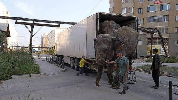 Elephants In Russia Forced To Travel '10,000 Miles' In Circus