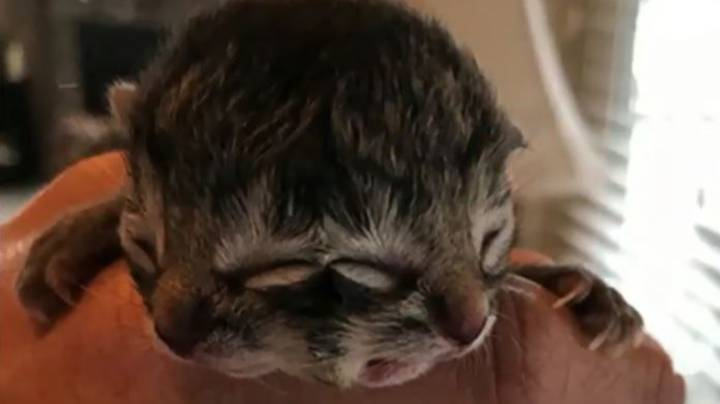 Kitten Born With Two Faces Has Sadly Died