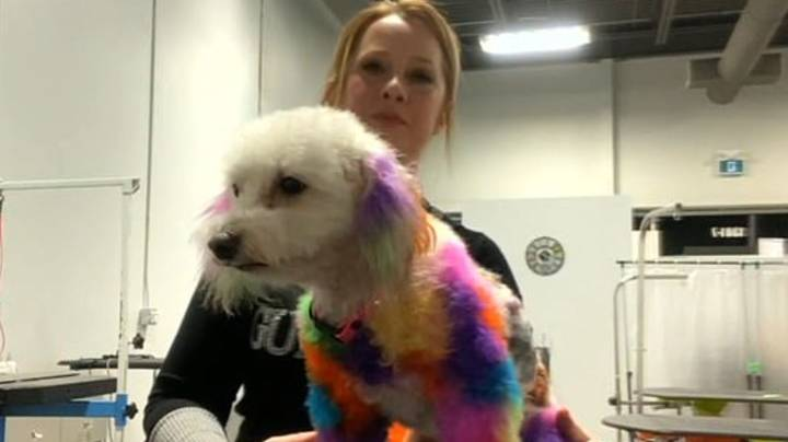 Woman Blasted For Dyeing Her Dog's Hair Different Colours