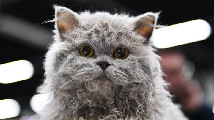 There Is Such Thing As A 'Poodle' Cat And They Look Incredible