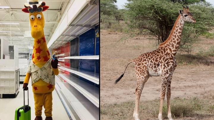 Don't Feel Too Sad; It Looks Like Geoffrey The Giraffe Could Have A New Job