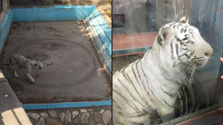 White Bengal Tiger Captured Pacing In Same Spot Inside Enclosure