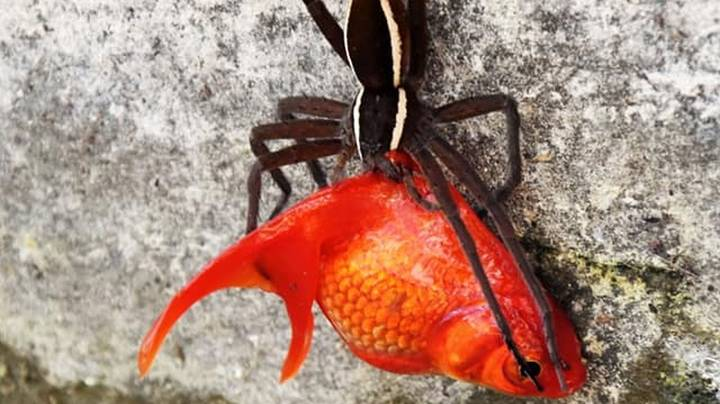 Man Catches Spider Stealing His Pet Goldfish From The Pond In Its Mouth