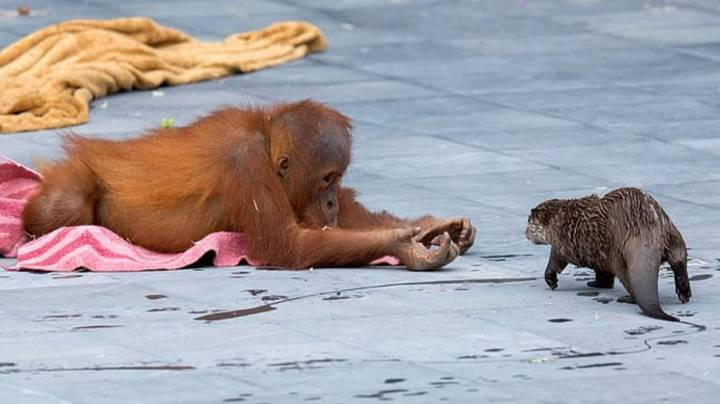 Orangutans Strike Up Friendship With Family Of Otters Who Swim Through Ape Enclosure