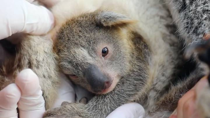 Aussie Park Thrilled As First Koala Is Born Since Devastating Bushfires