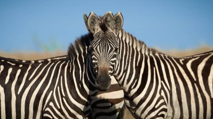 Wildlife Photographer's Snap Of Two Zebras Has People Baffled