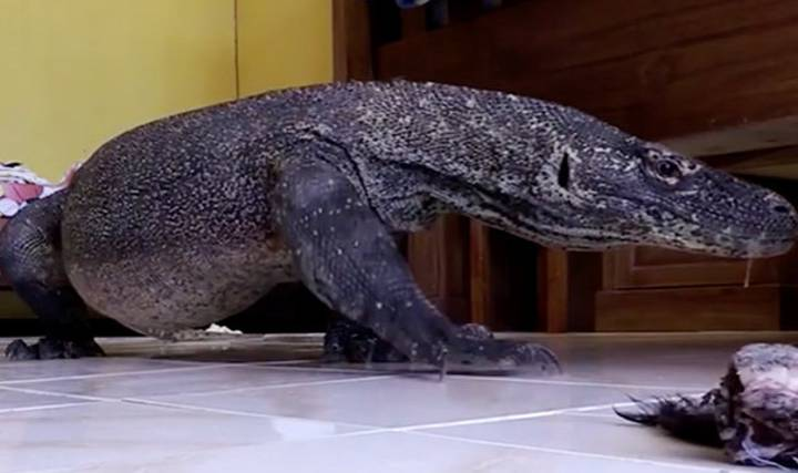 Cheeky Komodo Dragon Breaks Into Cameraman's Room, Shits Everywhere, Leaves