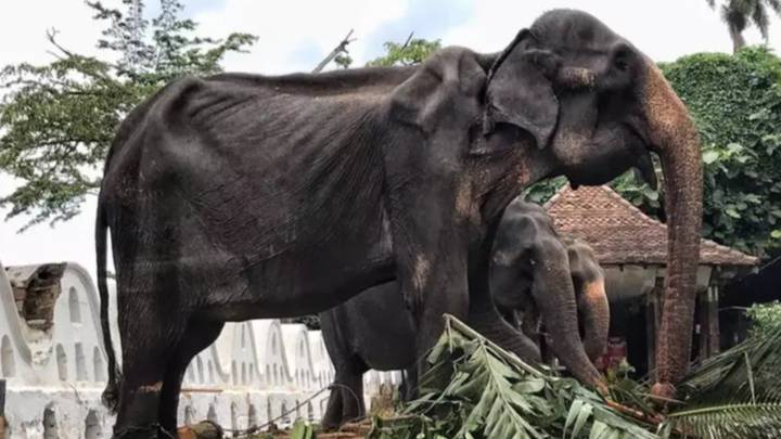 Emaciated Elephant Forced To Parade The Streets During Festival Has Died